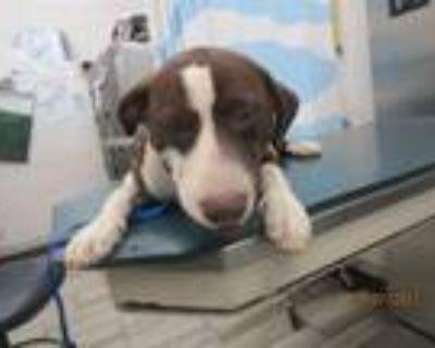 Adopt PARKER a Labrador Retriever, Mixed Breed