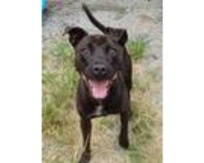 Adopt Marmaduke- a Black American Pit Bull Terrier / Labrador Retriever / Mixed