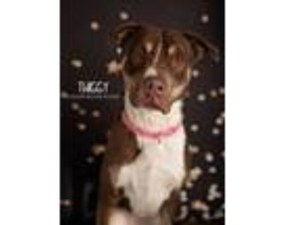Adopt Twiggy a Brown/Chocolate - with White Doberman Pinscher dog in Littleton