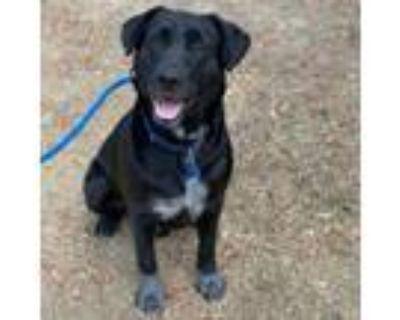 Adopt Rambler a Black Labrador Retriever / Mixed dog in San Diego, CA (31944664)