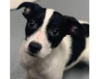 Adopt Jax a Black Labrador Retriever / Mixed dog in Dallas, TX (32061737)