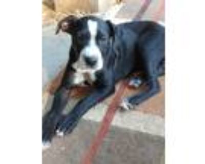 Adopt Finn a Black - with White Border Collie / Mixed dog in Lafayette