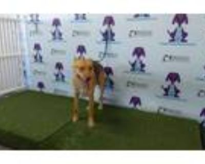 Adopt TENNESSEE a German Shepherd Dog, Mixed Breed