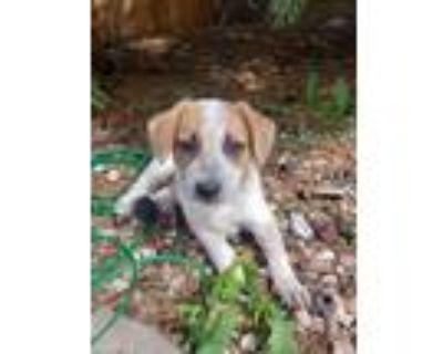 Adopt Alonzo a Australian Cattle Dog / Blue Heeler