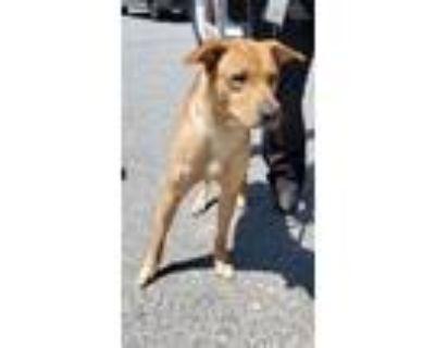 Adopt Nd-4c Scooby a Labrador Retriever, Boxer