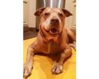 Sissy, American Pit Bull Terrier For Adoption In Los Angeles, California