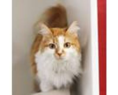 Adopt Kacey a Orange or Red Domestic Longhair / Domestic Shorthair / Mixed cat