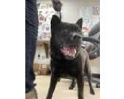 Adopt 47930655 a Black Chow Chow / Mixed dog in Fort Worth, TX (31506322)