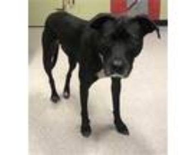Adopt ROXIE a Black Labrador Retriever / Mixed dog in Indianapolis