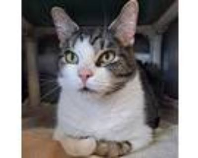 Banjo, Domestic Shorthair For Adoption In Indianapolis, Indiana