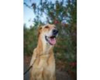 Adopt NIKKI a Brown/Chocolate German Shepherd Dog / Great Dane / Mixed dog in