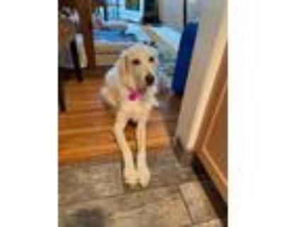 Adopt Beyaz a Red/Golden/Orange/Chestnut Golden Retriever / Mixed dog in Los