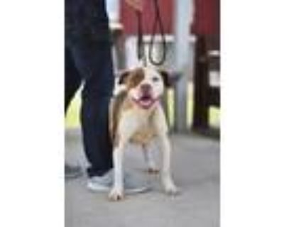 Adopt DUKE a Merle American Pit Bull Terrier / Mixed dog in Lacombe