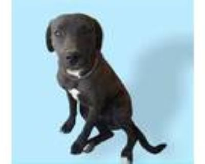 Adopt CHAZ a Black - with White American Pit Bull Terrier / Labrador Retriever /