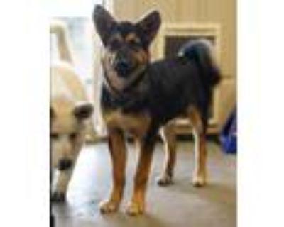 Adopt Talia a Black - with Tan, Yellow or Fawn German Shepherd Dog / Husky dog