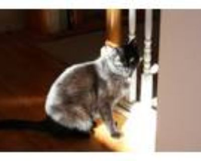 Adopt Inky a Black (Mostly) American Shorthair / Mixed (short coat) cat in