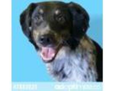 Adopt 47883025 a Black Border Collie / Mixed dog in El Paso, TX (31450410)