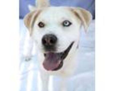 Adopt Trooper a Husky, Labrador Retriever