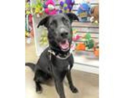 Adopt Clover (Urgent Need) a Black German Shepherd Dog / Labrador Retriever /