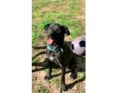 Adopt Buck a Black - with White Labrador Retriever / Mixed dog in Decatur
