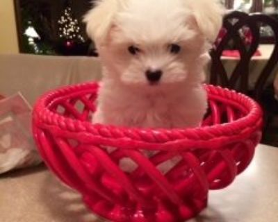 Maltese Puppy for Sale - Jazzy Akc
