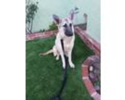Adopt Fiona a Gray/Silver/Salt & Pepper - with White Belgian Malinois / German