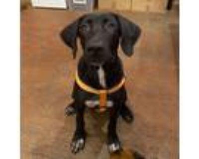 Adopt Yuki a Great Dane, Labrador Retriever