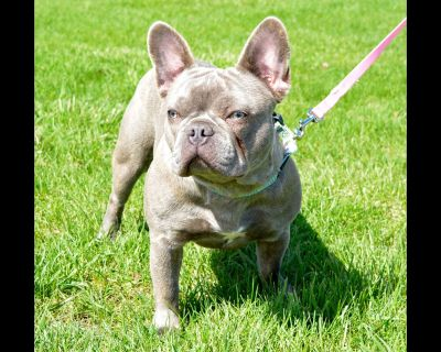 Celebrity Quality French Bulldog Puppies
