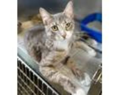 Adopt Pepper a Gray, Blue or Silver Tabby Domestic Shorthair (short coat) cat in