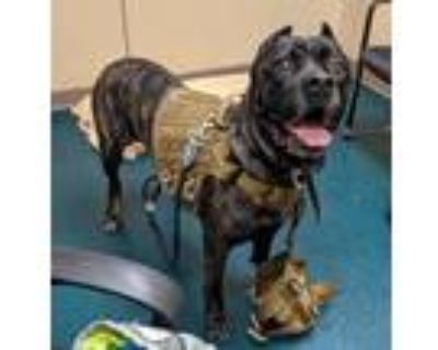 Adopt Makaveli a Cane Corso / Mixed dog in Oceanside, CA (31626424)