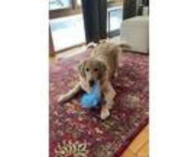 Finn (finnegan), Golden Retriever For Adoption In Arlington, Massachusetts