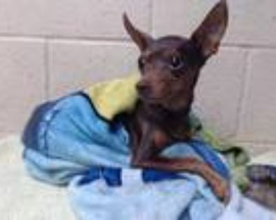 Adopt CHLOE a Brown/Chocolate - with Tan Miniature Pinscher / Mixed dog in