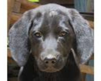 Adopt Star a Black Labrador Retriever / Mixed dog in Hagerstown, MD (31498914)