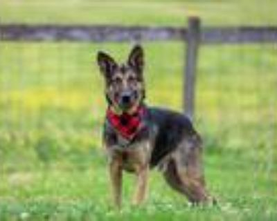 Adopt Schroeder a Black - with Tan, Yellow or Fawn German Shepherd Dog / Mixed