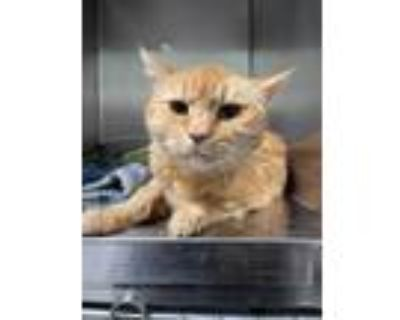 Adopt a Orange or Red Domestic Shorthair / Mixed (short coat) cat in
