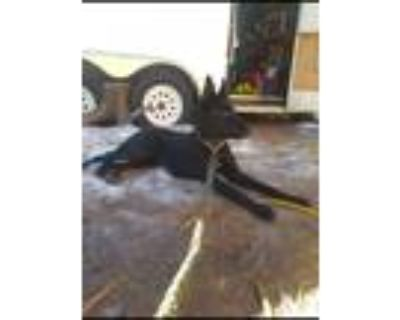 Adopt Pepper a Black - with White German Shepherd Dog / Mixed dog in Indio
