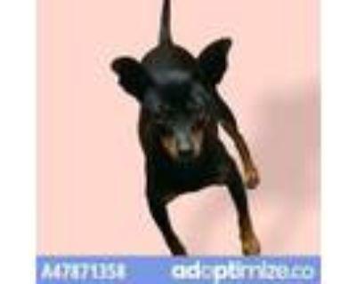 Adopt 47871358 a Black Miniature Pinscher / Mixed dog in El Paso, TX (31455116)