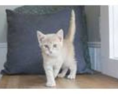 Adopt Norman a Tan or Fawn Domestic Shorthair (short coat) cat in Dayton