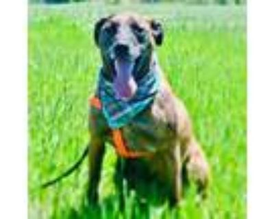 Adopt Reeses Percival Pieces a Catahoula Leopard Dog, Black Mouth Cur
