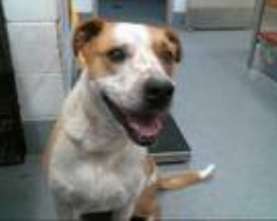 Adopt CHANCE a Tan/Yellow/Fawn - with White Labrador Retriever / Mixed dog in