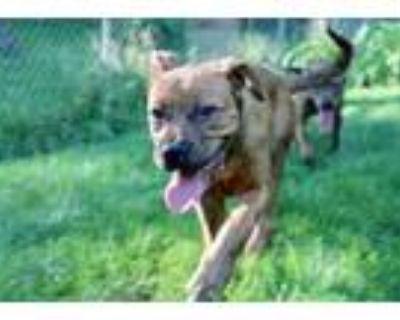 Adopt Schmidt a Boxer, Pit Bull Terrier