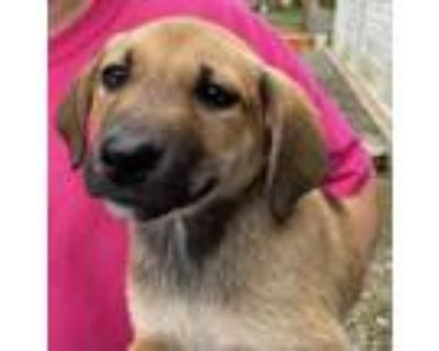Adopt Bingo Boy - Game Litter of 8 a Hound (Unknown Type) / Labrador Retriever
