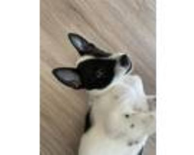 Adopt Stone a Black - with White Shepherd (Unknown Type) / Mixed dog in Long