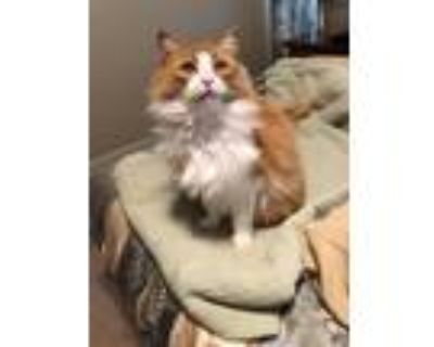 Adopt Peaches Peyton a Orange or Red (Mostly) Domestic Longhair cat in Milton