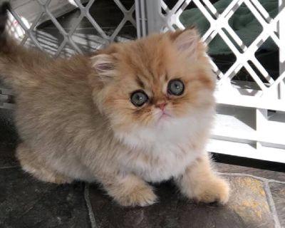CFA Registered Golden Chinchilla Female Kitten