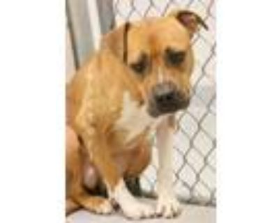 Adopt VICTORIA a Pit Bull Terrier