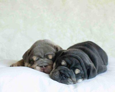 English Bulldog Puppy ~ Full Suited Blue Tri Male