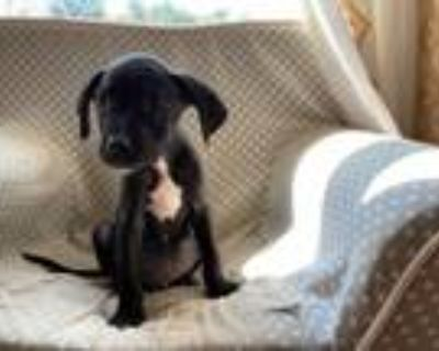 Adopt Anasi a Black - with White Pit Bull Terrier / Mixed dog in Alpharetta