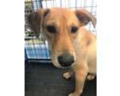 Adopt ZIA a Labrador Retriever, Carolina Dog