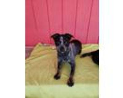 Adopt Toby a Australian Cattle Dog / Blue Heeler